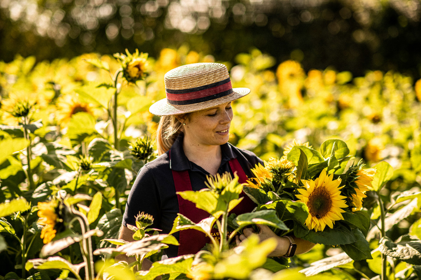 Woman picking Sunflowers in field