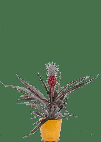 Bloemenboutique De Meiden - Ananasplant