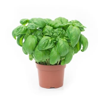 Ararat Groente en Fruit - Basilicum plantje