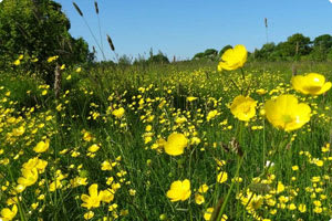 Buttercups at Westall Park Burial Ground