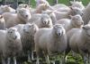 Двое южноуральцев угнали у односельчанина стадо овец на ₽700 тыс.