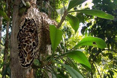 5 Manfaat Sarang Semut Papua untuk Kesehatan
