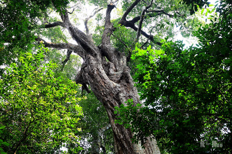 very old tree in the Bawangling park