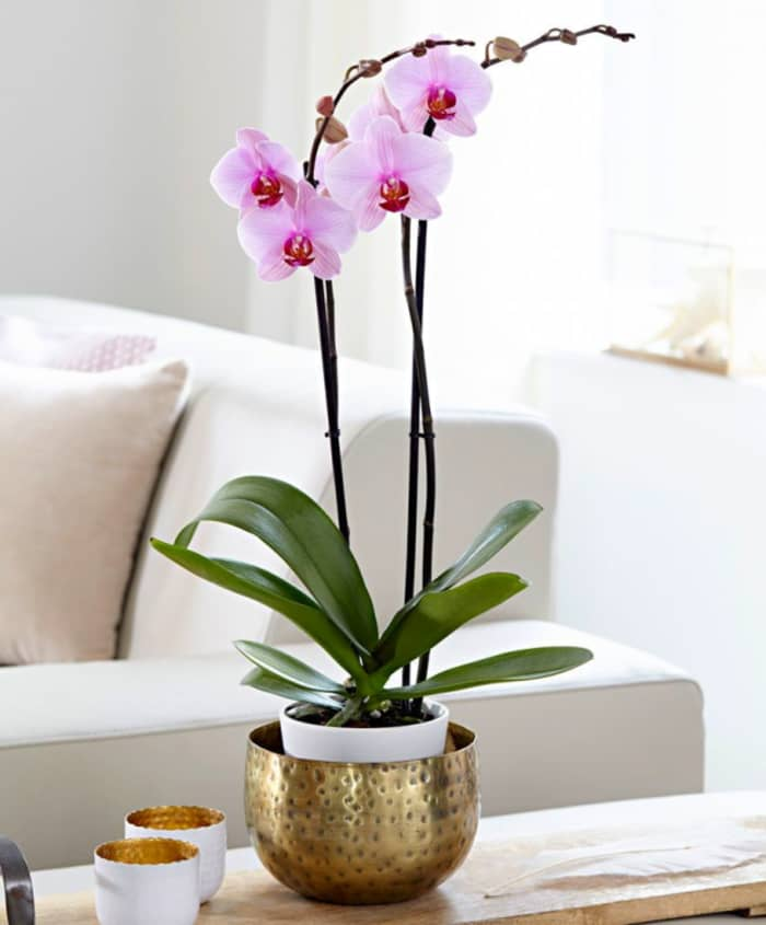 Moth orchid, a great plant for indoor clean air.