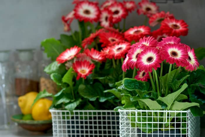 Barberton daisy, a joyful flower that can also contribute to fight indoor air pollution.