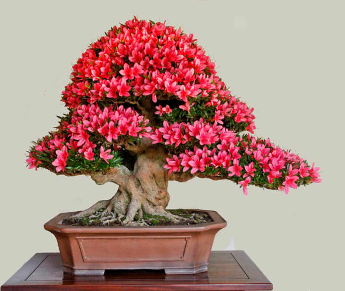 Azalea bonsai tree.