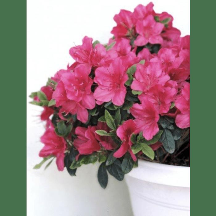 Azalea, a precious air purifying indoor plant.