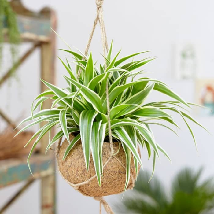 A spider plant hanging from the ceiling.