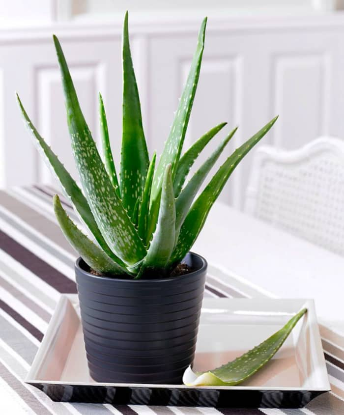 Aloe vera: a great plant to fight air pollution indoors.