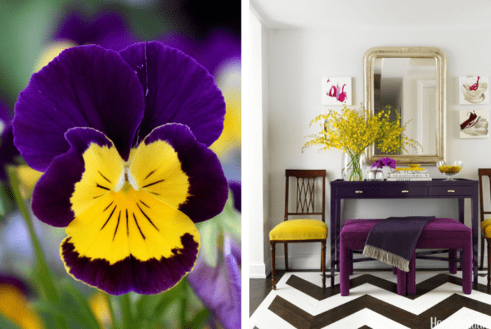 Uses of violet and yellow in nature and in interiors. Nature: bright pansy. Interior: entryway with white walls, violet furniture and few yellow accents.