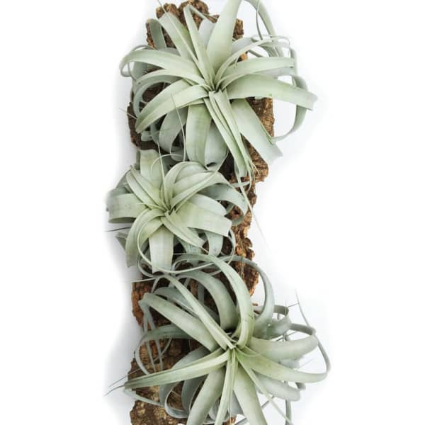 Tillandsia Xerographica plants.