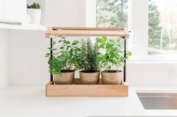 Herb plants growing in a mini greenhouse on a kitchen counter.