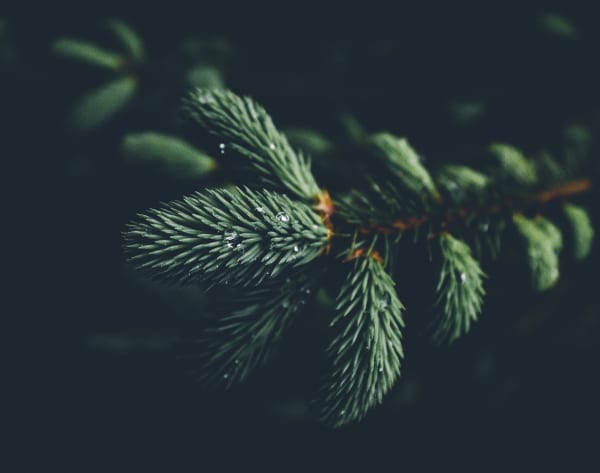 Close-up view of a pine tree branch.