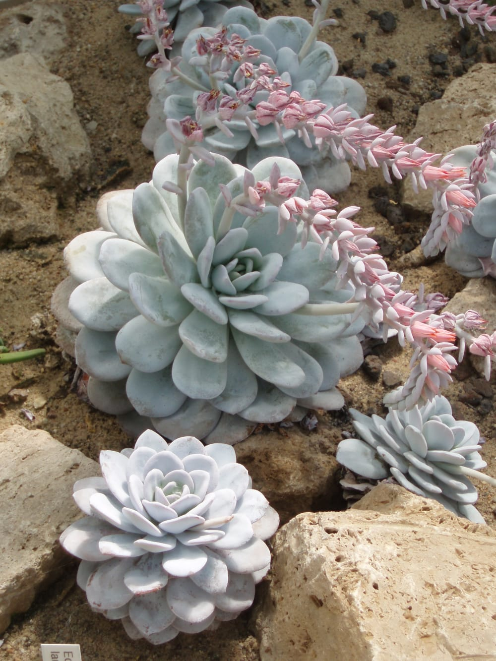 "Echeveria laui plants.<span class=""sr-only""> (opened in a new window/tab)</span>"