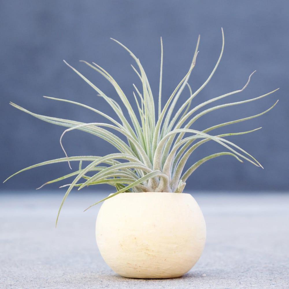 """Tillandsia Oaxacana Feldhofi plant.<span class=""""sr-only""""> (opened in a new window/tab)</span>"""