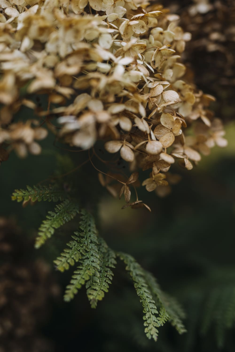 """Close-up view of a beige hydrangea on a green background.<span class=""""sr-only""""> (opened in a new window/tab)</span>"""