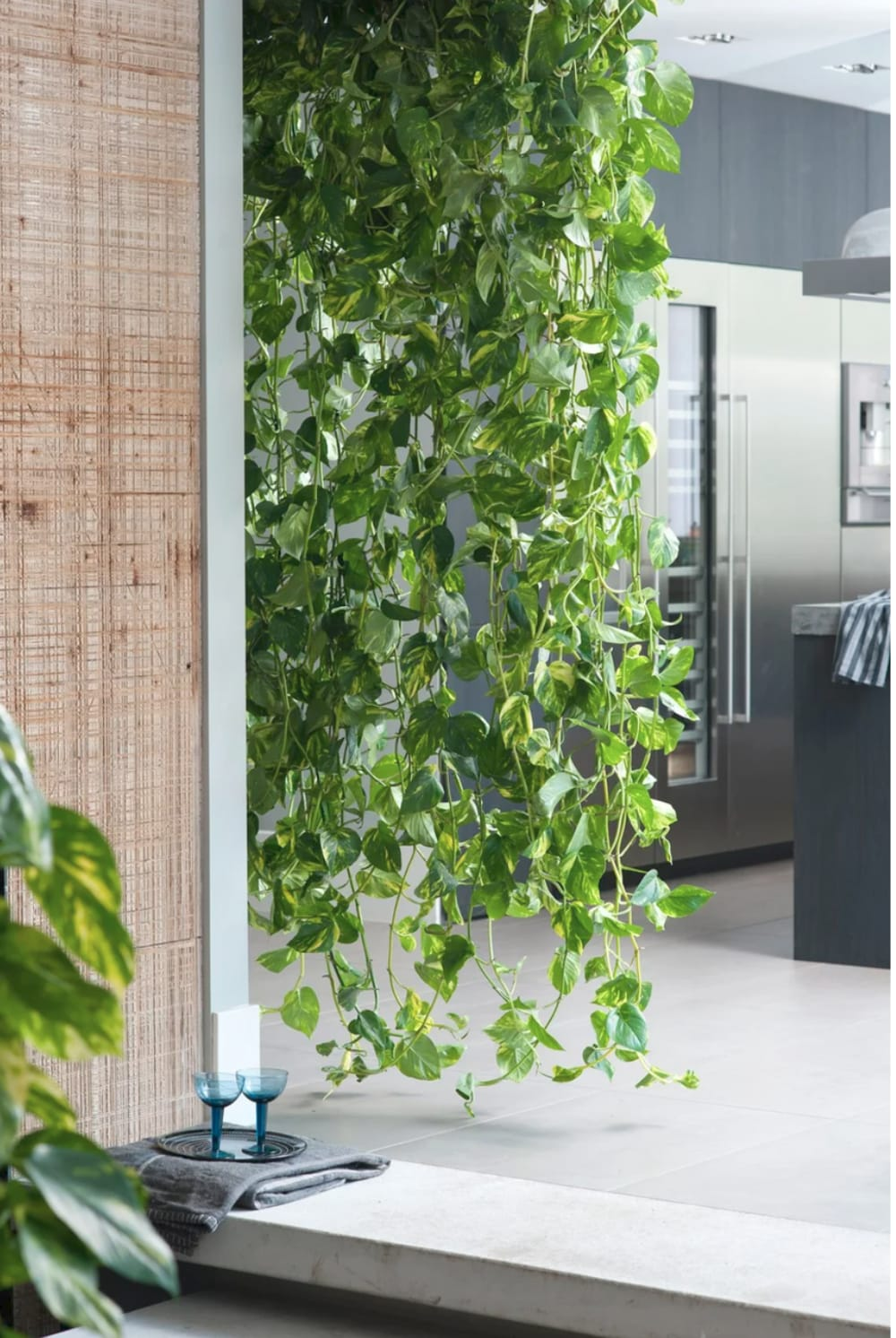 """Pothos plant draping from ceiling to floor.<span class=""""sr-only""""> (opened in a new window/tab)</span>"""