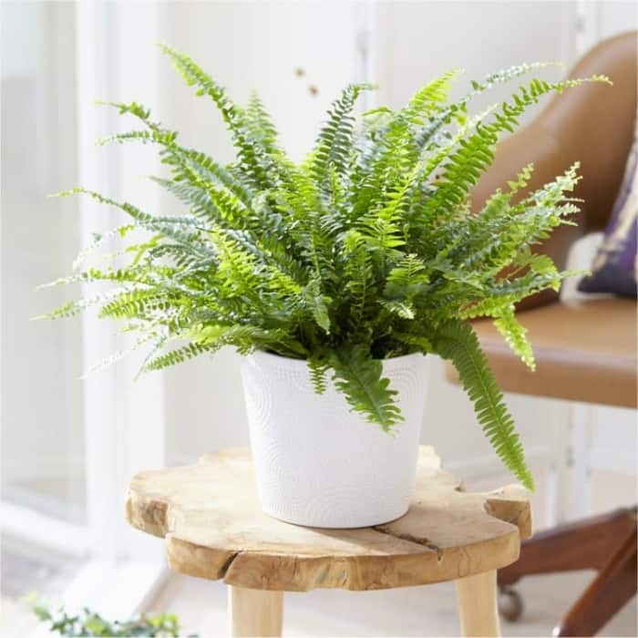Boston sword fern, excellent plant to fight indoor air pollution.