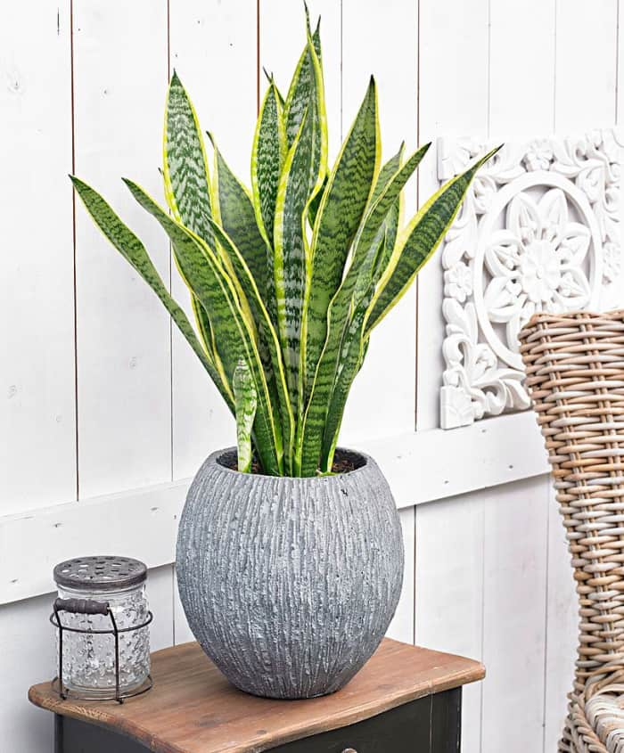 Snake plant, a plant capable of cleaning the air from most of the VOCs that are found in our homes.