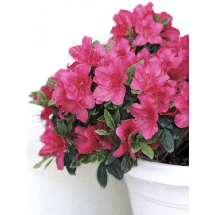 Azalea, a precious air purifying indoor plant.
