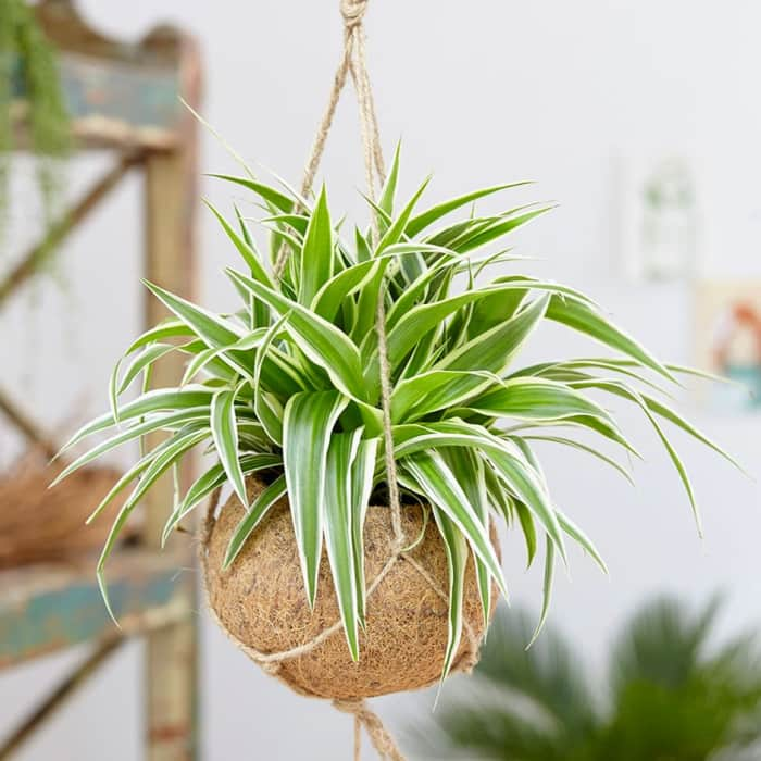 "A spider plant hanging from the ceiling.<span class=""sr-only""> (opened in a new window/tab)</span>"