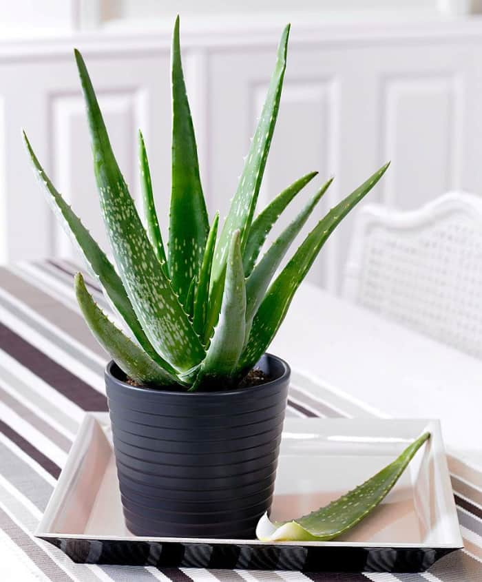"Aloe vera: a great plant to fight air pollution indoors.<span class=""sr-only""> (opened in a new window/tab)</span>"
