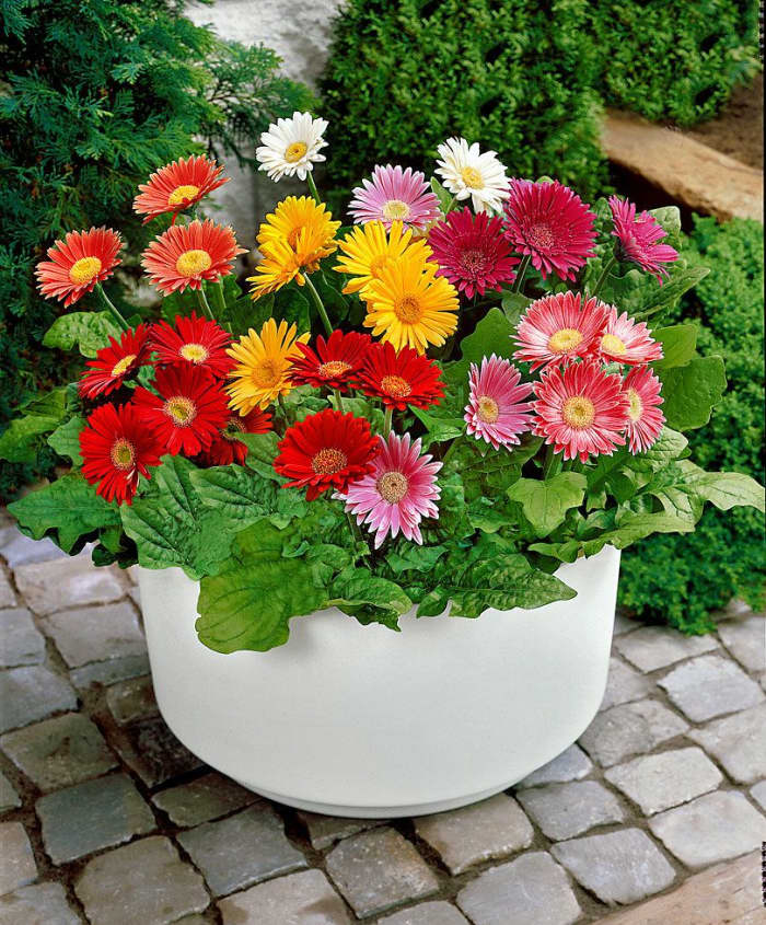 A colorful arrangement of many barterton daisies.