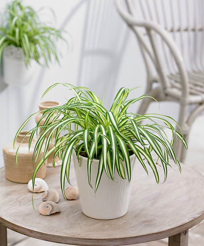 Spider plant, one of the best plants for people who suffer from allergies.
