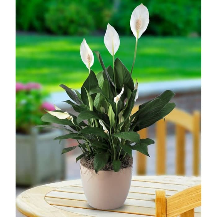 "Peace lily, a flower that improves the quality of indoor air by absorbing mold spores.<span class=""sr-only""> (opened in a new window/tab)</span>"