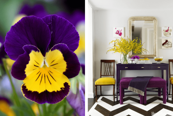 """Uses of violet and yellow in nature and in interiors. Nature: bright pansy. Interior: entryway with white walls, violet furniture and few yellow accents.<span class=""""sr-only""""> (opened in a new window/tab)</span>"""
