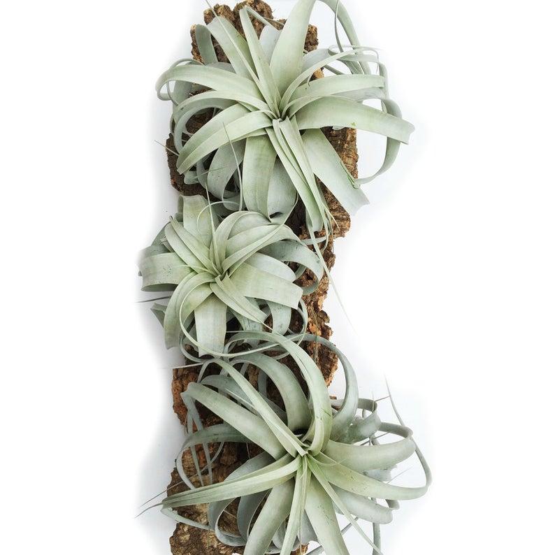 Tillandsia Xerographica plants.