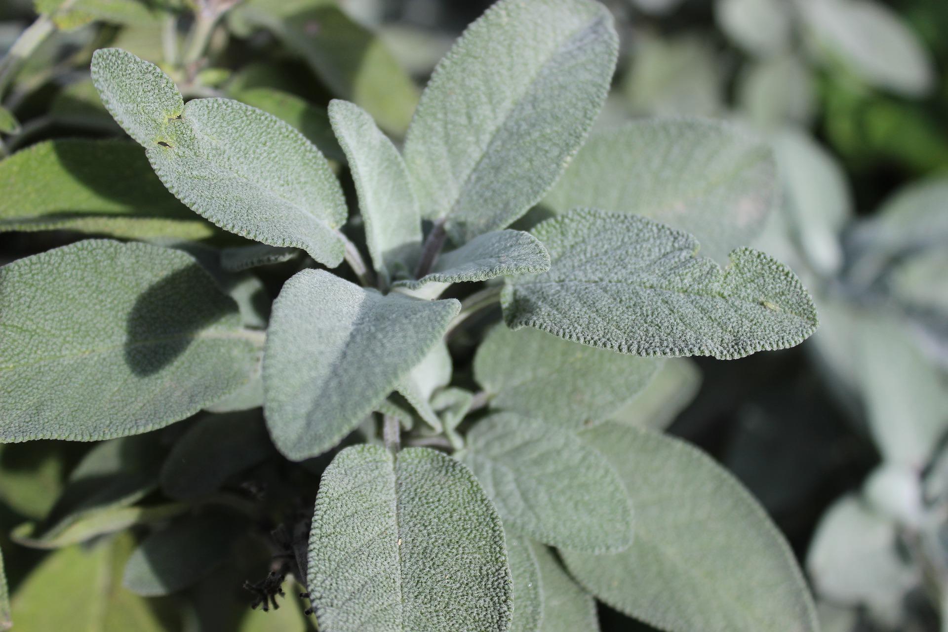 Sage plant.