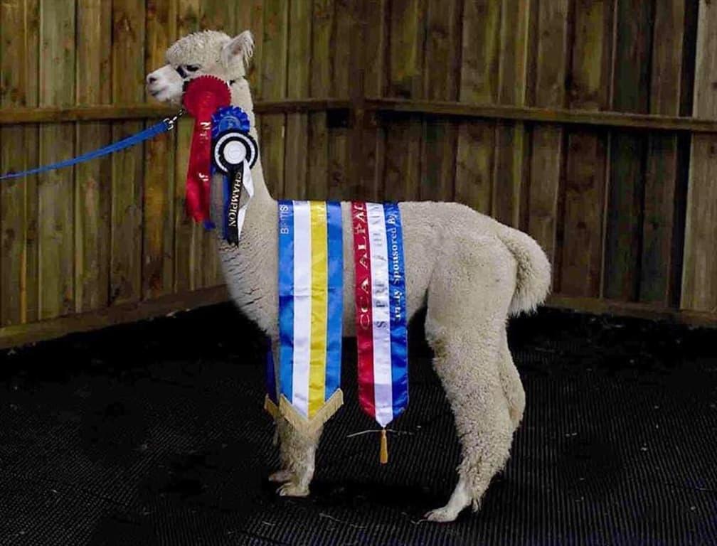 alpaca-champion