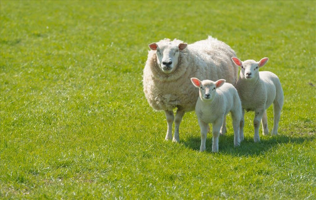 Ewe Nutrition - The Pre-Lambing Period