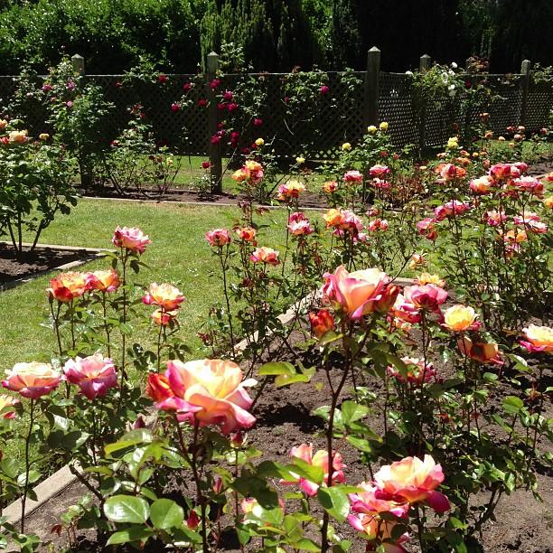 Reasons to visit San Francisco - Rose Garden