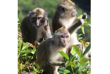 Animal Protection groups outraged as Mauritius government gives permission for capture of wild monkeys