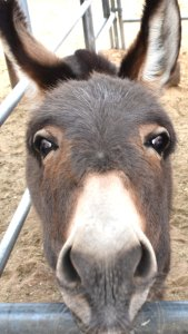 Joseph Miniature Donkey He will be four this year and is Mary's Brother. He gives the best hugs and kisses!