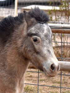 Lady Miniature Horse She is six years old and 34″ tall. She is always ready for a walk!
