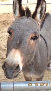 Mary the Mini Donkey She will be four this year. She gives the best hugs and kisses!