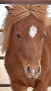 Patty Lee Miniature Horse She is fourteen and 31″ tall. Her big eyes will draw you in!