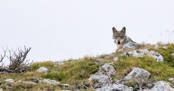 Der Wolf ist da. Ein Thema –zwei Ausstellungen