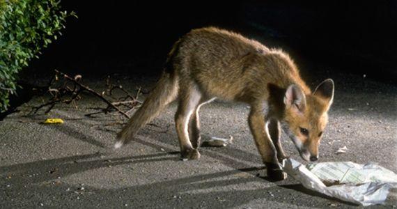 NATURAMA-Vortrag Wenn Füchse zu Städtern werden