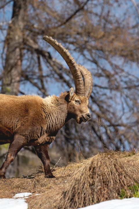 TCS - A chaque tournant avec les ibex