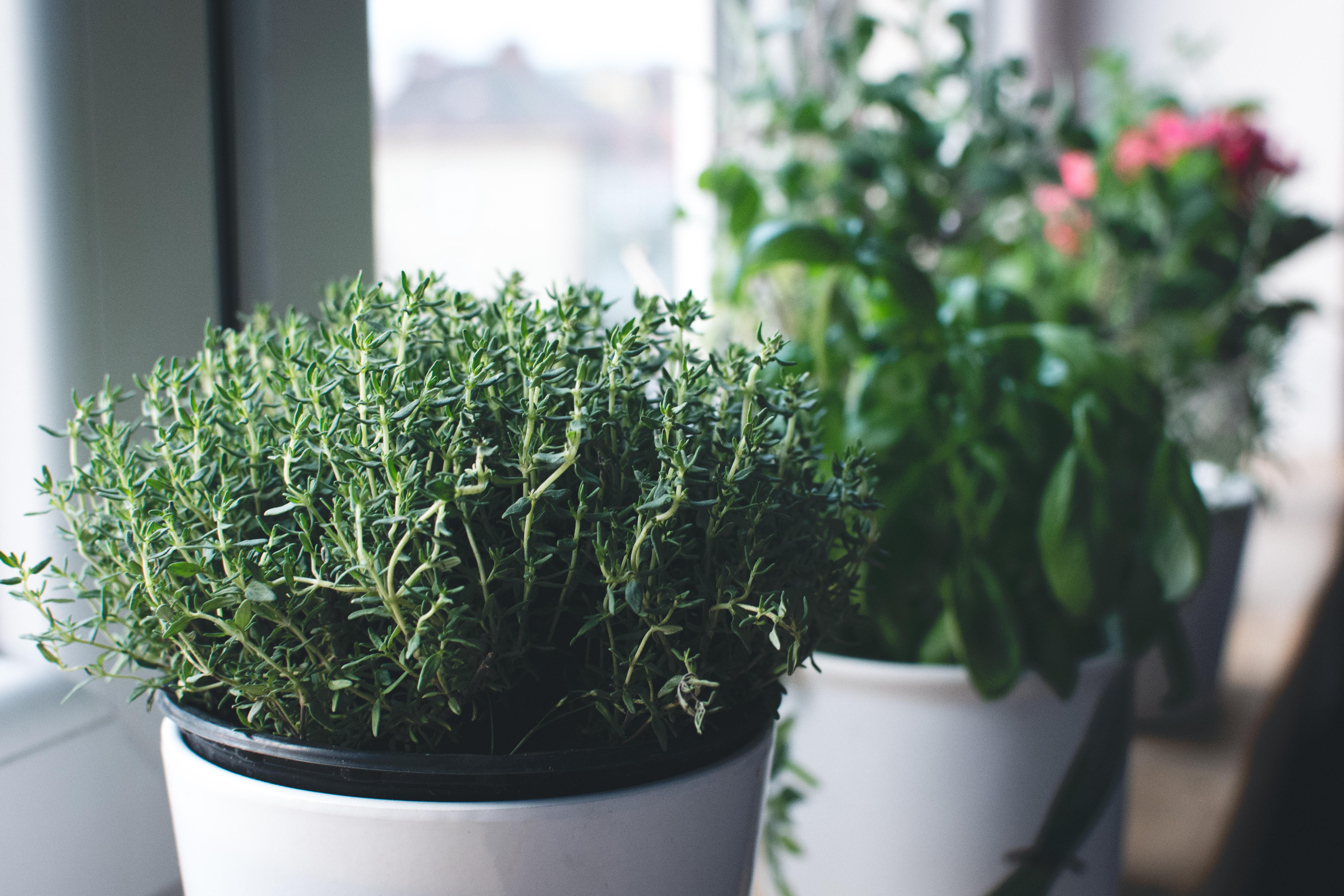 Coltivare le erbe aromatiche - timo