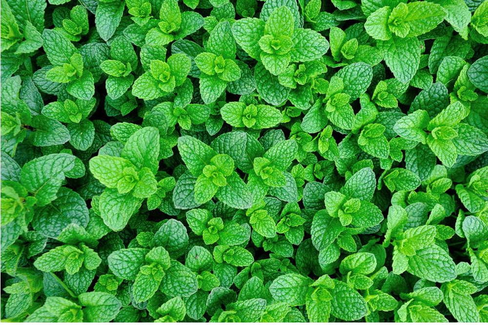 Coltivare le erbe aromatiche - menta