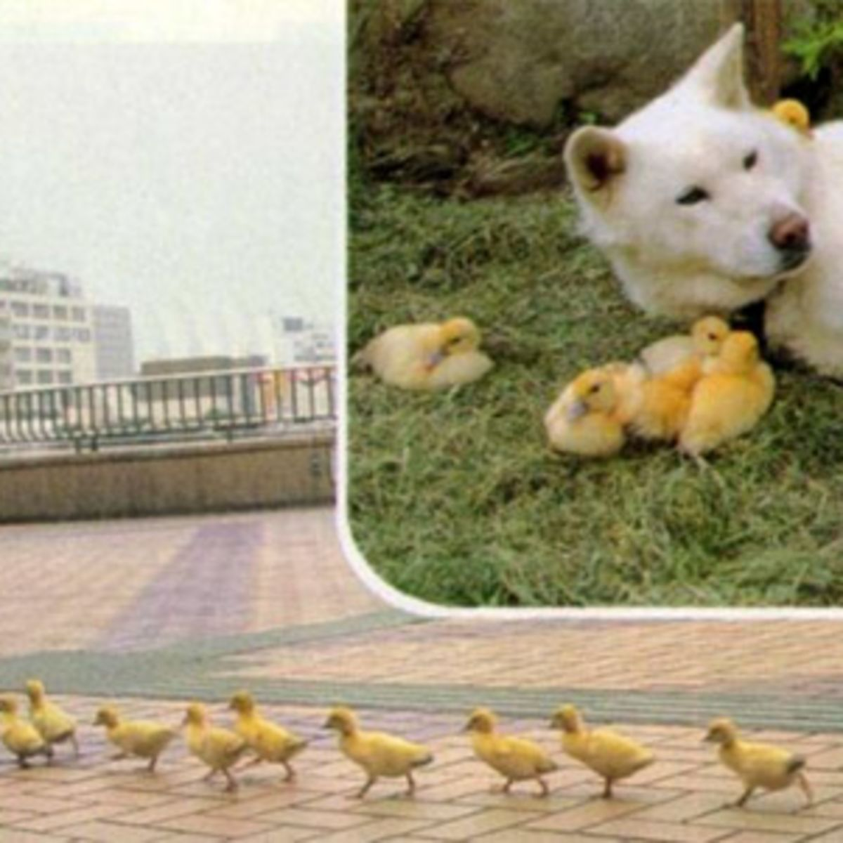 Ducklings, ducks, dog