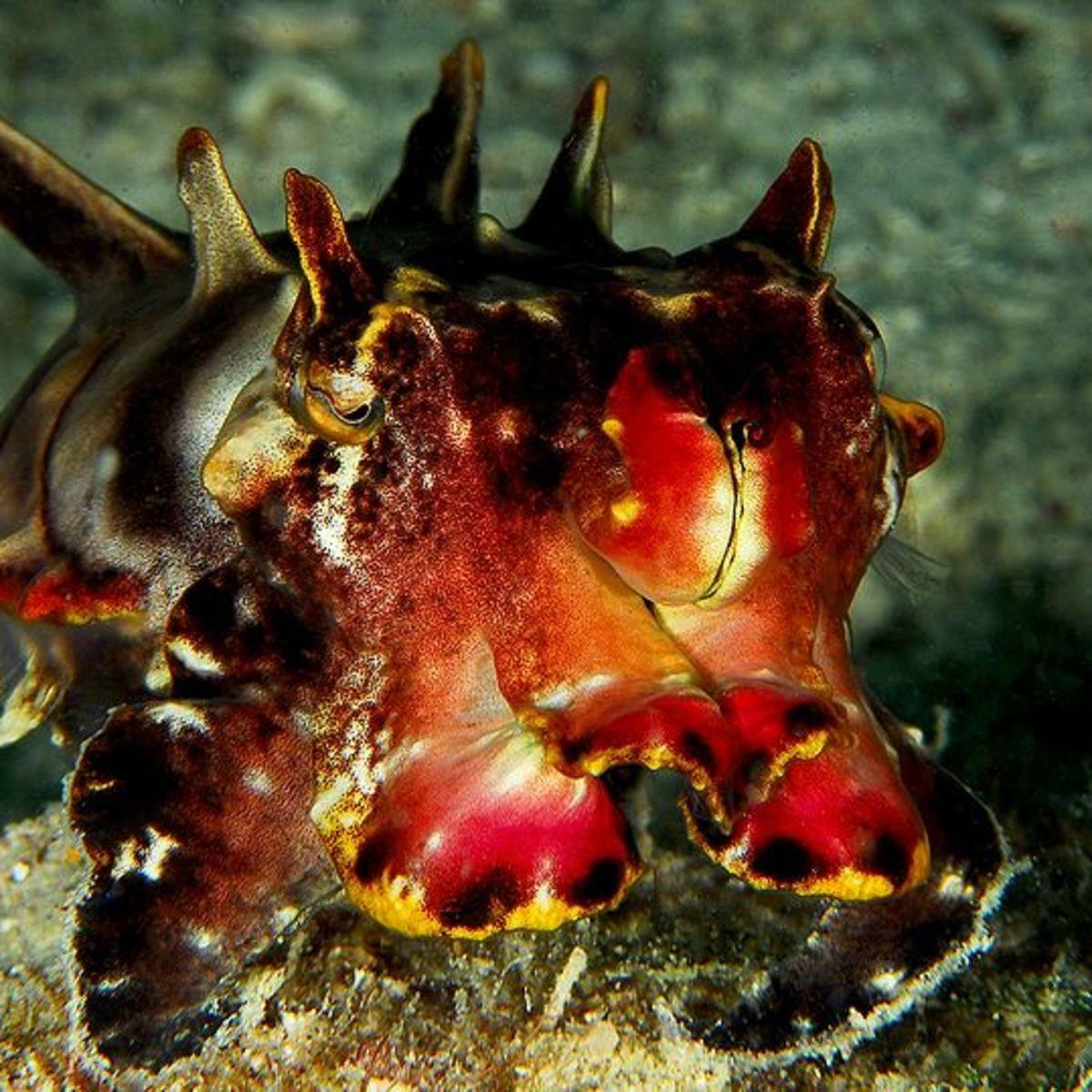Flamboyant Cuttlefish (Metasepia Pfefferi)