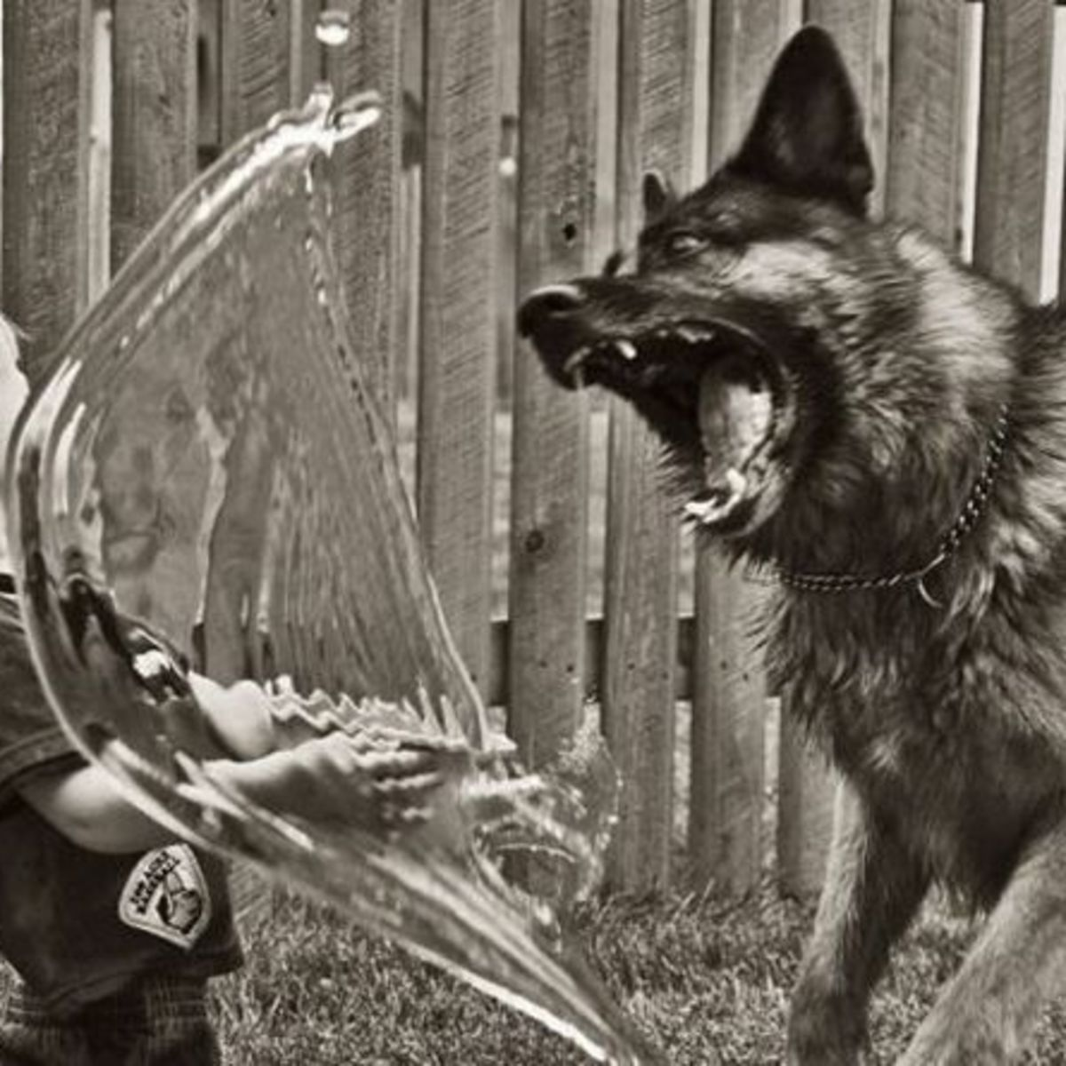 Scary German sheperd dog with child and water