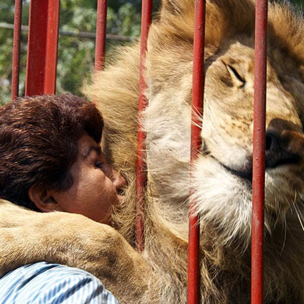Huge lion hugs woman through bars
