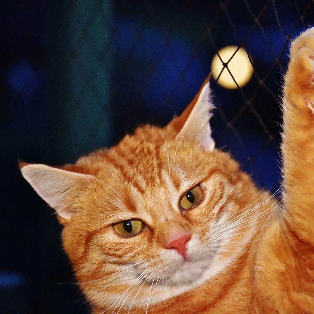Orange cat, holding up paw